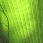 A live palm leaf